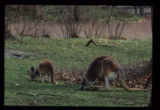 Kangaroos Eating